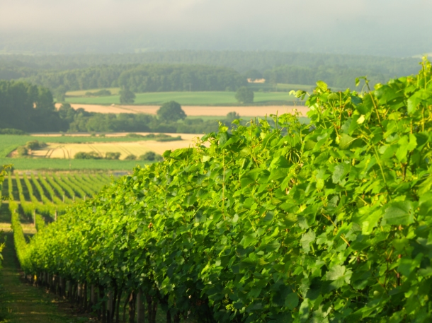 A view of Nyetimber's vineyard