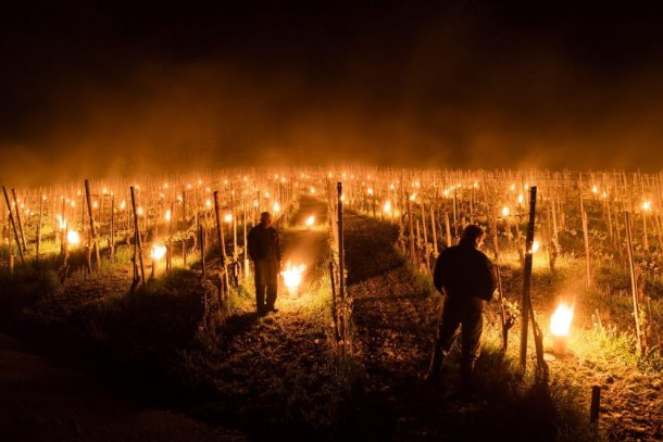 Fires in vineyard